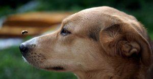 solo perro con una abeja sobre su nariz