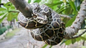 Serpiente pitón en el árbol