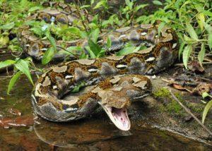 Serpiente de pitón reticulada cerca del agua