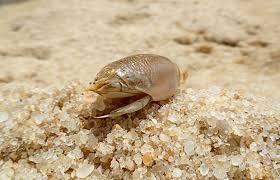 Pésimo pulga de arena en el suelo