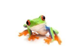 Una rana tre de ojos rojos aislada en blanco.