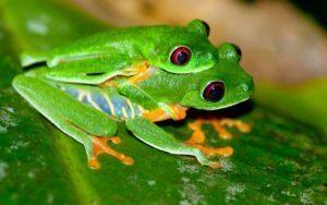 Dos ranas arbóreas de apareamiento en la hoja verde.