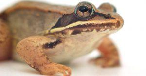 Ciérrese para arriba de una rana de madera en el blanco.