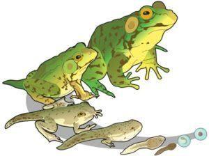 Ciclo de vida de la rana verde en el blanco.