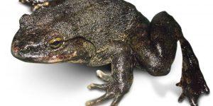 Rana Goliath: 6 Datos Interesantes de la Rana Más Grande del Mundo