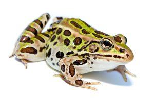 Rana Leopardo: 8 Hechos Divertidos Que Usted Debe Saber!