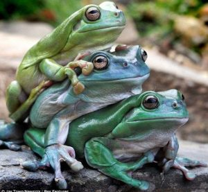Tres ranas en la roca