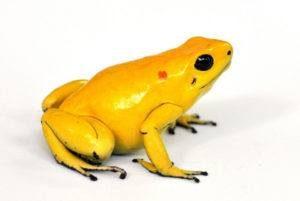Rana amarilla del dardo del veneno aislada en el blanco.