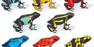 Colorido veneno dardo ranas en el blanco.