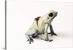 Mint morph de la rana dardo venenoso dorado, con renacuajos en su parte posterior.