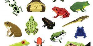 Ilustración del vector de la historieta de las diversas ranas en el blanco.