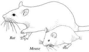 Dibujo de ratas