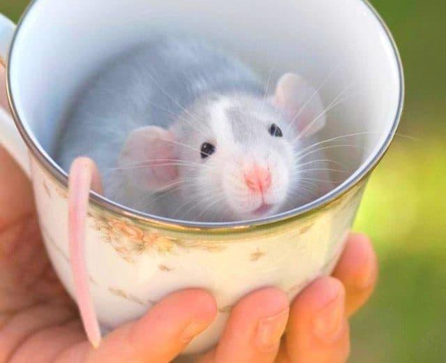 ¿Cuáles son los Diferentes Tipos de Ratones?