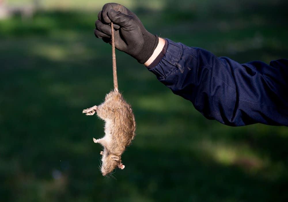 Un hombre está sosteniendo una rata muerta en la mano