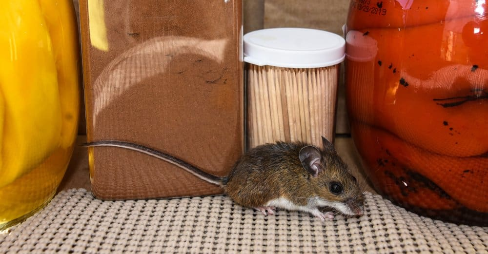 Un primer plano de un ratón de casa