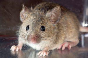 Un ratón de casa común te está mirando fijamente