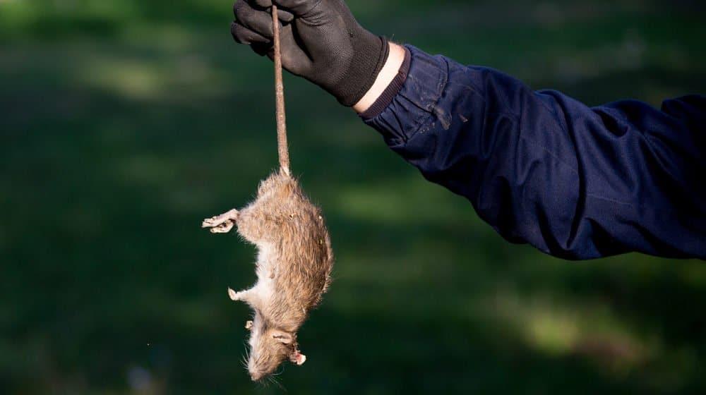 Un ratón muerto en la mano de un hombre