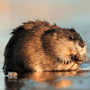 caminar rata almizclera general sobre el agua