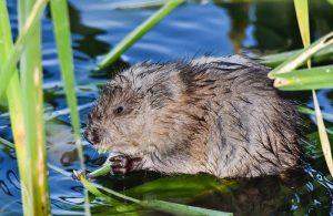La rata almizclera en el agua