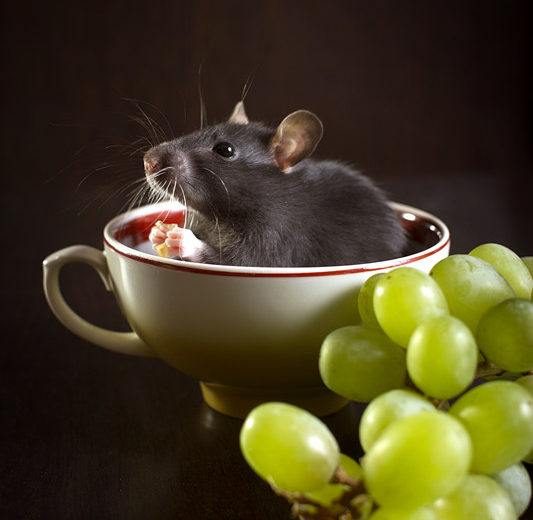 Ratas de Techo: Hechos y Cómo Deshacerse de ellos