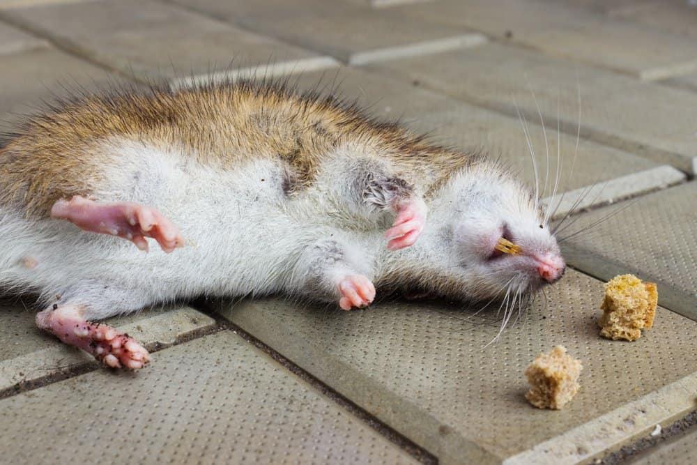 Quitar el olor a rata de su ático