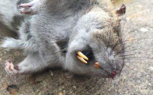 Una rata muerta en el suelo