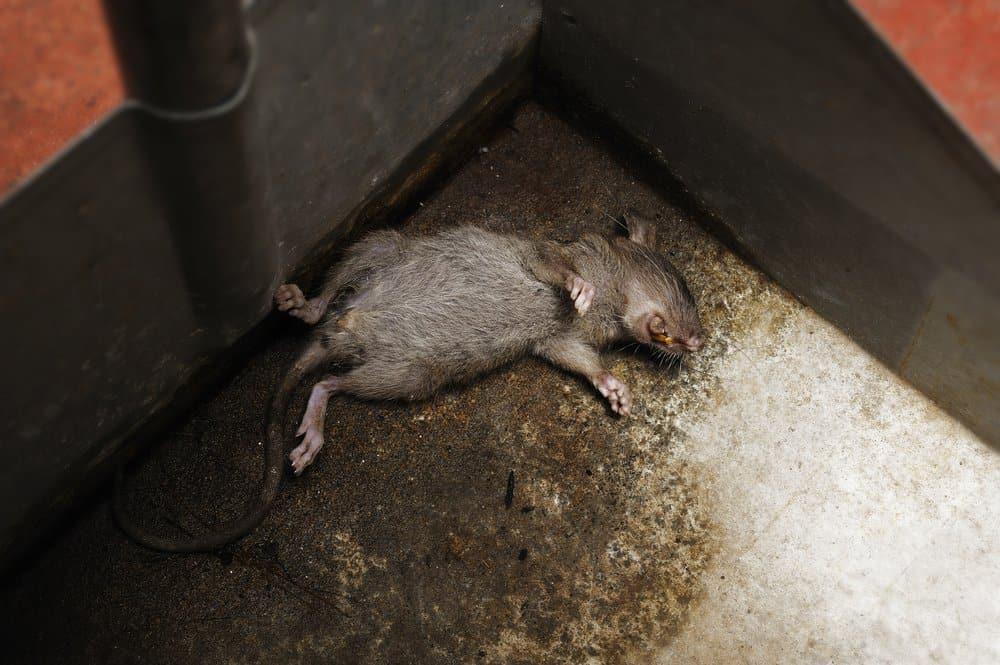 4 Opciones Ayuda a Deshacerse del Olor a Rata Muerta