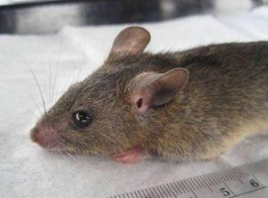 Gran tiro de un multimammate rata