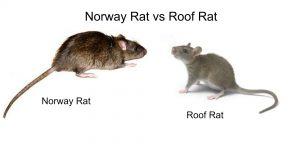 Rata de techo y Noruega rata en el fondo blanco