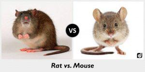 Las Diferencias entre Ratas y Ratones
