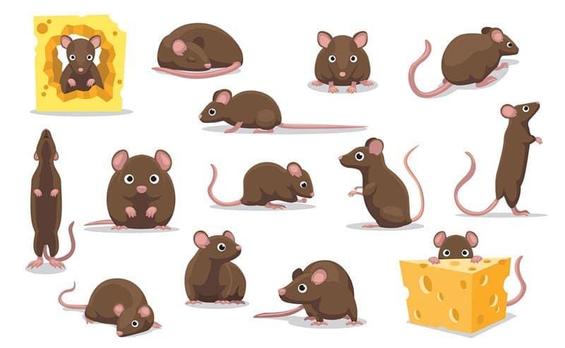 Ratas: 3 Identificaciones y Prevención Eficaz