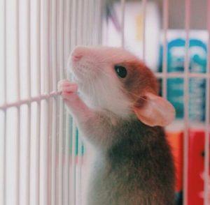 Un lindo dumbo rex rata está mirando algo de una jaula