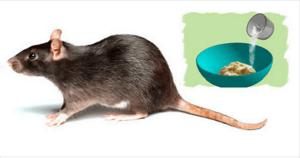Una rata grande con el método para deshacerse de ella