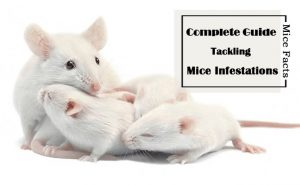 Datos sobre Ratones: Su Guía Completa para las Infestaciones de Ratones y Ratones