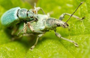 Un par de escarabajos verdes se están apareando en la hoja verde.