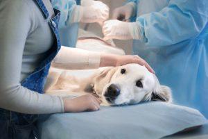 retriever en clínica veterinaria