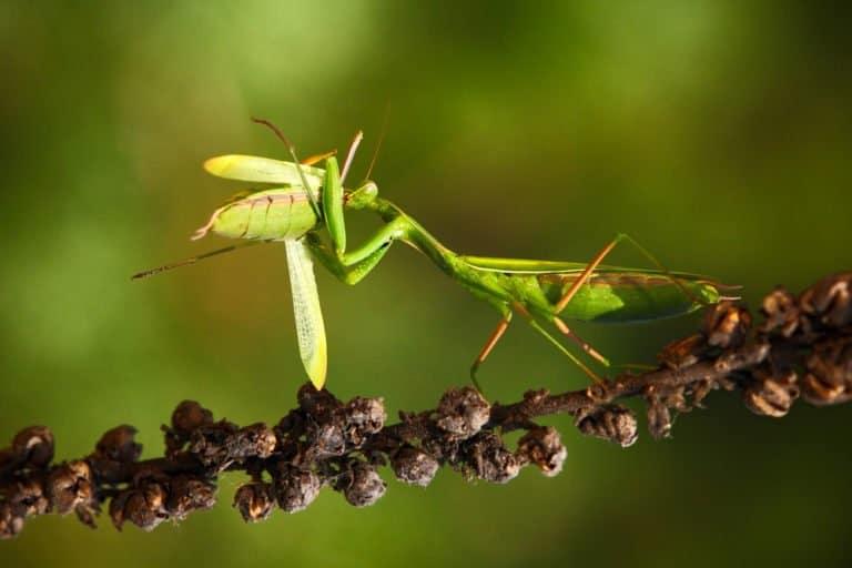 rezar mantis comer