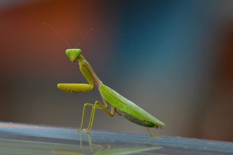 rezar mantis en la naturaleza