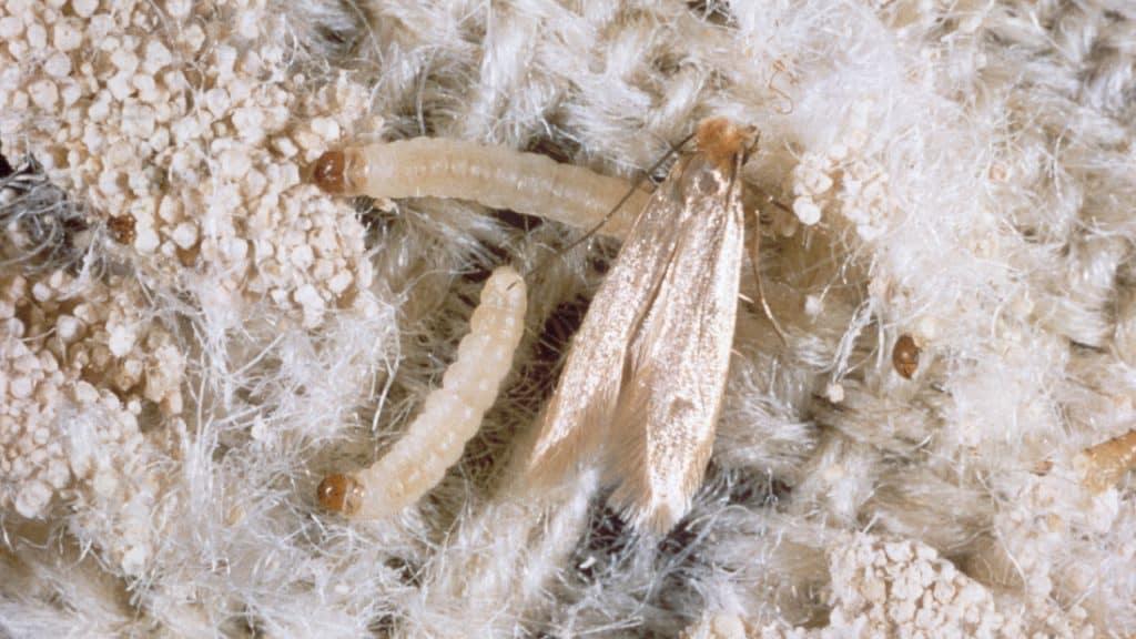 8 Formas de Controlar la Infestación de la Polilla (En Casa)