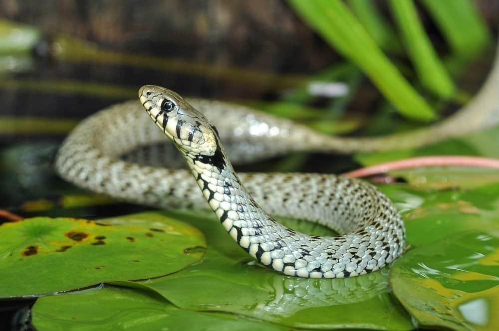 Primer plano de una serpiente tumbada sobre las hojas