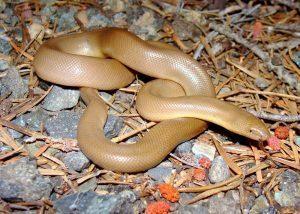 Boa serpiente en el salvaje