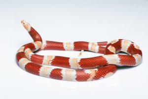 Serpiente de maíz con rayas rojas y blancas