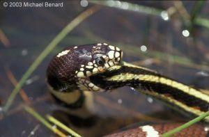 Una serpiente de la liga está comiendo algo en el agua