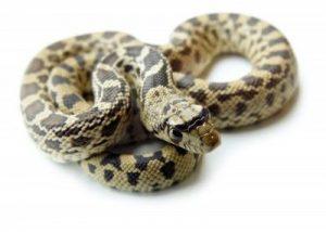 Serpiente gopher sobre fondo blanco