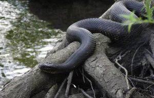 Una serpiente de liga cerca de la fuente de agua