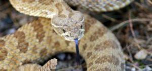 Una serpiente de cascabel que muestra