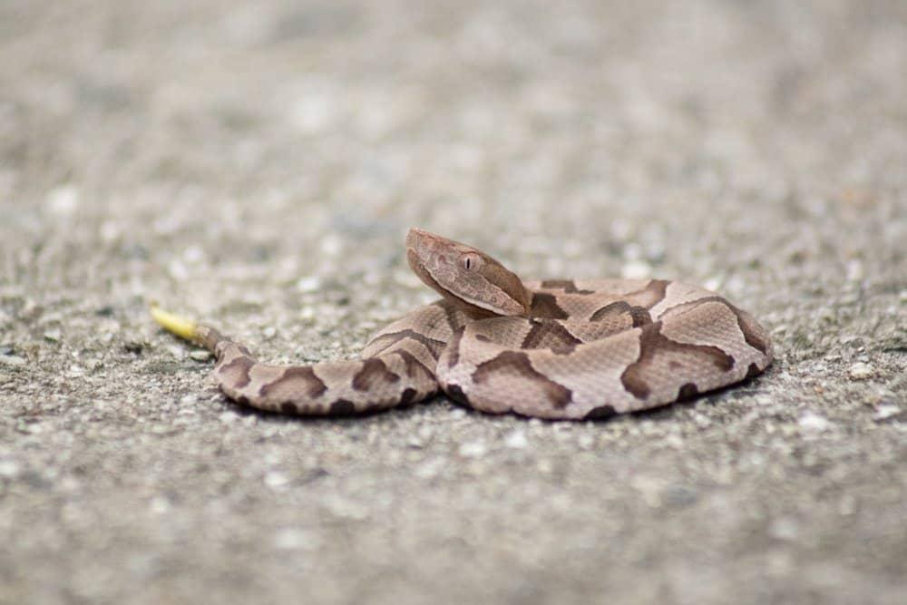 Una serpiente de cascabel tumbada en el suelo