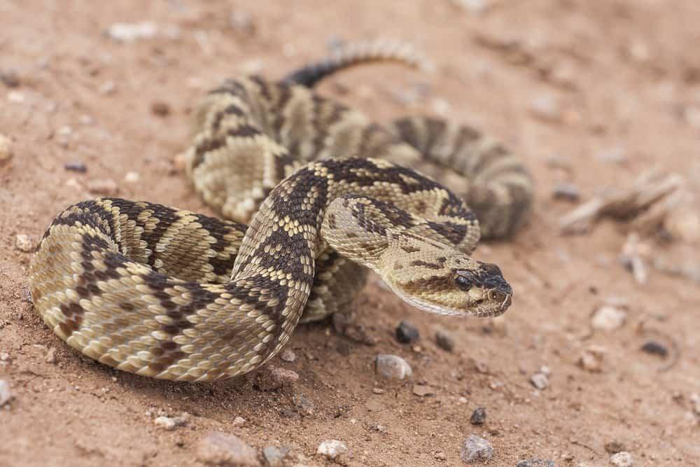 Una serpiente de cascabel está a punto de atacar