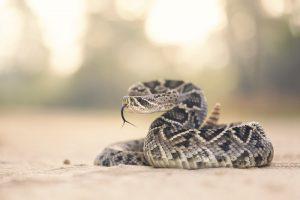 7 Aspectos Importantes Relacionados con la Mordedura de Serpiente de Cascabel