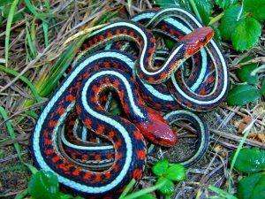 La serpiente de la liga oriental tumbada en la hierba